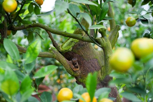 Những cành quất được ghép vào thân bưởi cách đây 1 tới 2 năm. Khi cành quất sống khỏe trên thân cây bưởi nhà vườn mới tạo dáng cho cây.