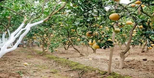 Người dân Phường Phú Diễn thu hoạch bưởi cho Tết Nguyên đán Kỷ Hợi - Ảnh 1.