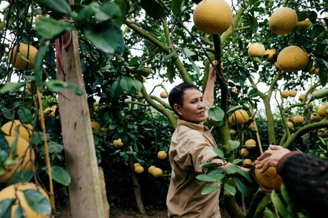 Người dân Phường Phú Diễn thu hoạch bưởi cho Tết Nguyên đán Kỷ Hợi - Ảnh 2.