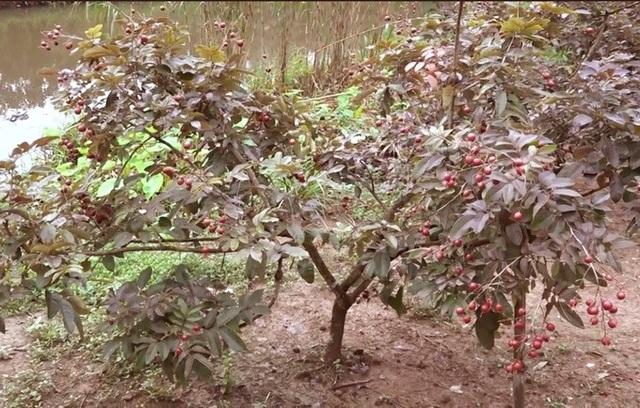 Cận Tết, vườn nhãn tím vạn người mê ùn ùn người xếp hàng xin mua - Ảnh 2.