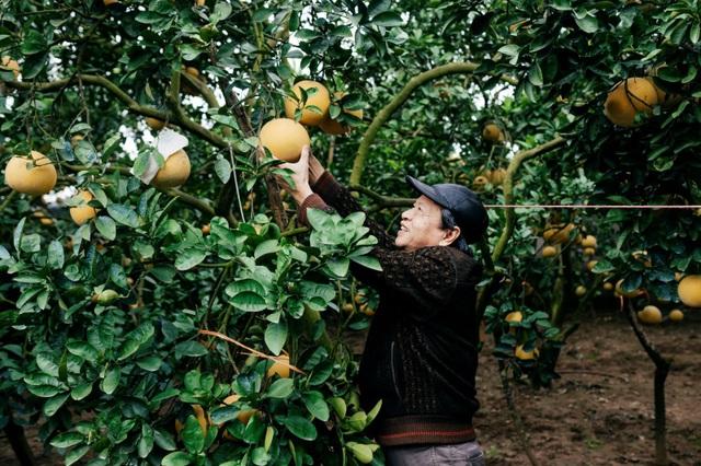 Người dân Phường Phú Diễn thu hoạch bưởi cho Tết Nguyên đán Kỷ Hợi - Ảnh 6.