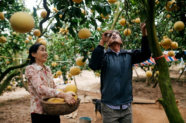 Người dân Phường Phú Diễn thu hoạch bưởi cho Tết Nguyên đán Kỷ Hợi - Ảnh 7.