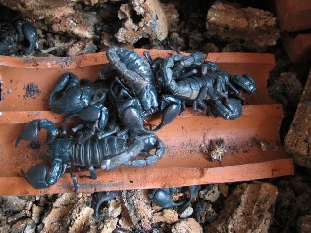500 nghìn một cân bọ cạp, chị em không tiếc săn lùng làm món nhậu đãi chồng - 1