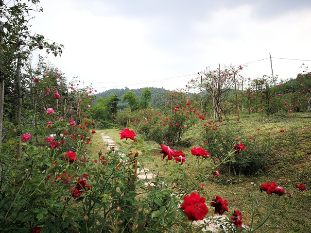 Người đàn ông bỏ phố lên rừng dựng nông trại hoa hồng  - 10