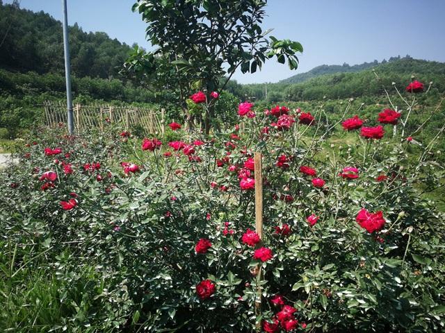 Người đàn ông bỏ phố lên rừng dựng nông trại hoa hồng  - 5