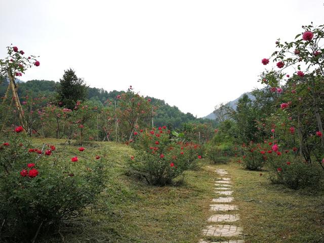 Người đàn ông bỏ phố lên rừng dựng nông trại hoa hồng  - 4