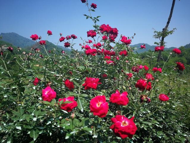 Người đàn ông bỏ phố lên rừng dựng nông trại hoa hồng  - 9