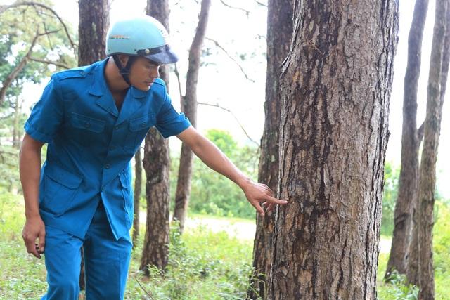 Cả rừng thông bị đầu độc, không biết quy trách nhiệm cho ai?! - 5