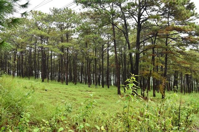 Cả rừng thông bị đầu độc, không biết quy trách nhiệm cho ai?! - 1