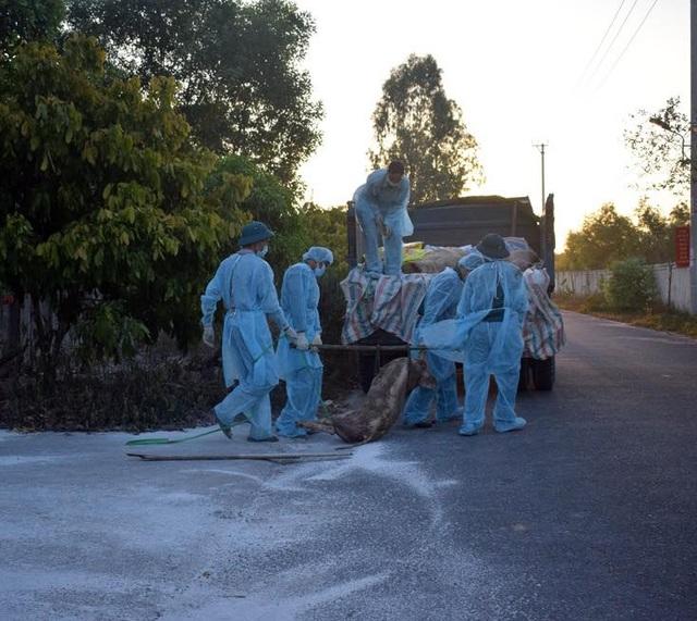 Quảng Bình: Tiêu hủy hơn 6 tấn lợn bị dịch tả châu Phi - 1