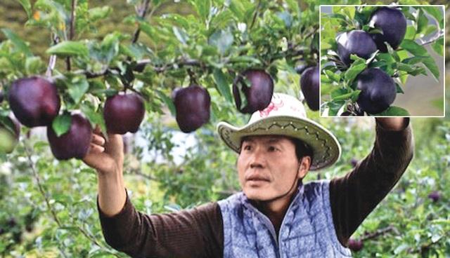Quả táo đen xì đen xịt độc, lạ, ngon, bổ giá gần nửa triệu mỗi quả - 1
