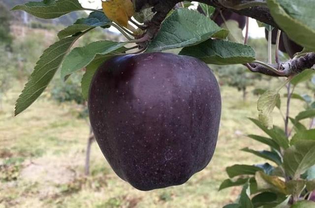 Quả táo đen xì đen xịt độc, lạ, ngon, bổ giá gần nửa triệu mỗi quả - 2