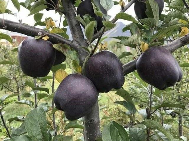 Quả táo đen xì đen xịt độc, lạ, ngon, bổ giá gần nửa triệu mỗi quả - 3