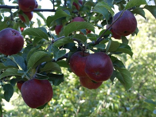 Quả táo đen xì đen xịt độc, lạ, ngon, bổ giá gần nửa triệu mỗi quả - 6