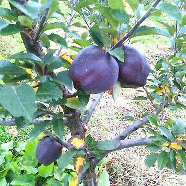 Quả táo đen xì đen xịt độc, lạ, ngon, bổ giá gần nửa triệu mỗi quả - 7