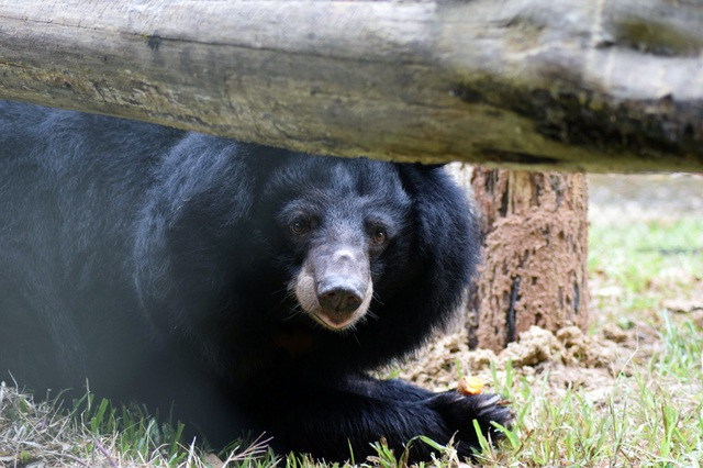 Minh tinh Maggie Q thăm mộ một con gấu ở Tam Đảo - 11