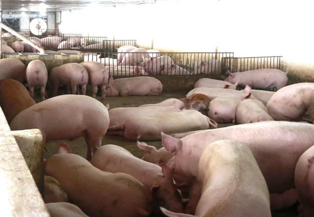 Liên tục tăng cao, giá thịt lợn vọt lên mức kỷ lục - 1
