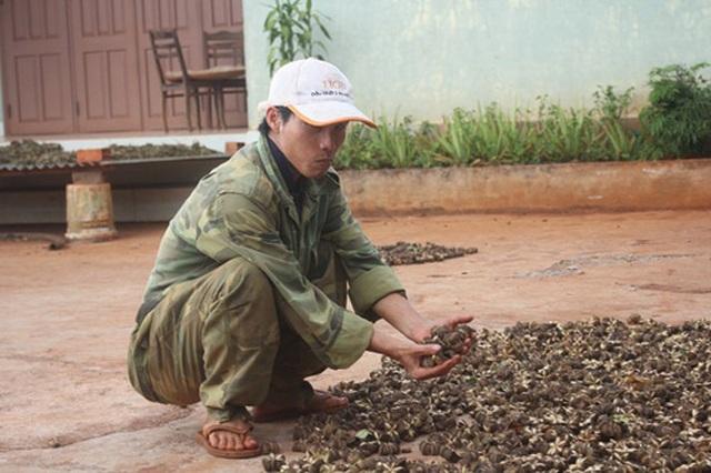 """Đua nhau trồng sachi, """"vỡ mộng"""" vì cây """"tiền tỷ"""" - 4"""