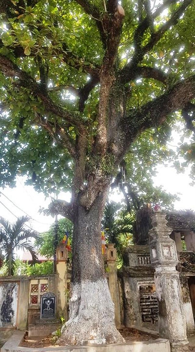 Ngôi chùa cổ có 2 cây di sản đầu tiên ở Ninh Bình - 7
