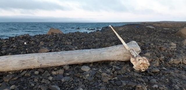 Tìm thấy sừng kỳ lân biển nguyên vẹn hiếm gặp - 1