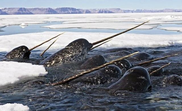 Tìm thấy sừng kỳ lân biển nguyên vẹn hiếm gặp - 2