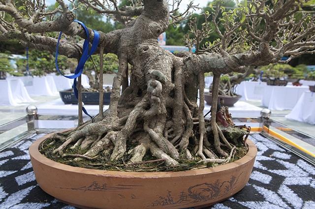 Mãn nhãn với vẻ đẹp kỳ dị của hàng trăm cây sanh bonsai ở Thanh Hóa - 4