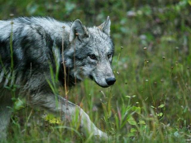Cuộc sống ở ngôi làng hẻo lánh có chó sói nhiều hơn trẻ nhỏ - 3