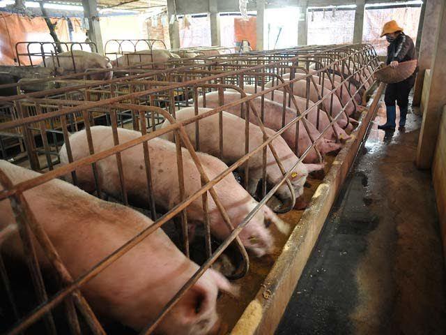 Lùng mua, vét cạn trong dân, thịt lợn tăng giá chưa từng có - 1