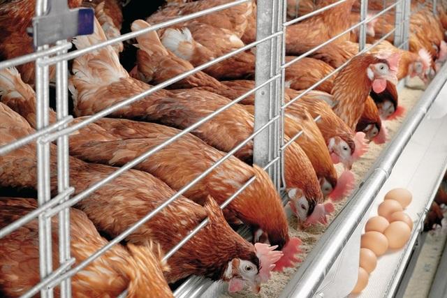 """Giá gà """"rớt thảm"""", ngành chăn nuôi gia cầm nói do lỗi Tổng cục Thống kê - 1"""
