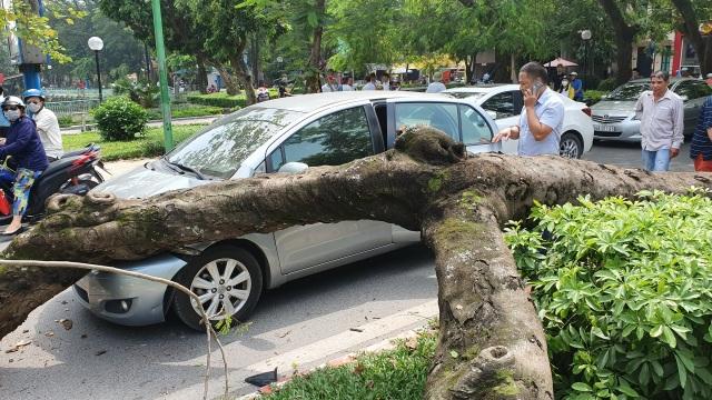 """Hà Nội: Cây phượng """"khủng"""" đổ trúng đầu xe ô tô, tài xế hú vía - 1"""