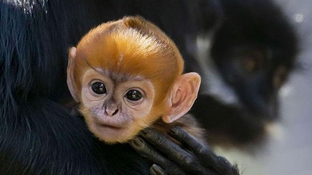 Khỉ con cực hiếm vừa được sinh ra tại vườn thú ở Úc - 1