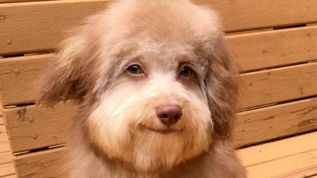 Chú chó có đôi mắt và miệng cười như con người gây bão mạng - 1