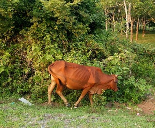 Oái oăm chuyện các cụ già không còn sức lao động được tặng bò để… thoát nghèo - 4
