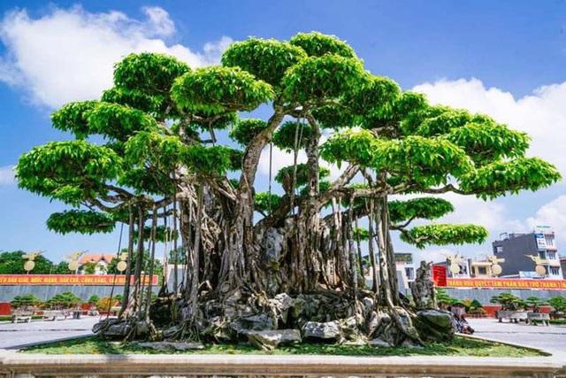 Choáng với cây sanh cổ được khách Nhật định giá hơn 20 triệu USD - 1