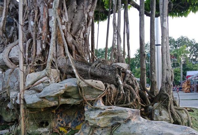 Choáng với cây sanh cổ được khách Nhật định giá hơn 20 triệu USD - 14