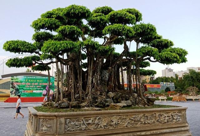 Choáng với cây sanh cổ được khách Nhật định giá hơn 20 triệu USD - 2