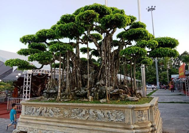 Choáng với cây sanh cổ được khách Nhật định giá hơn 20 triệu USD - 3