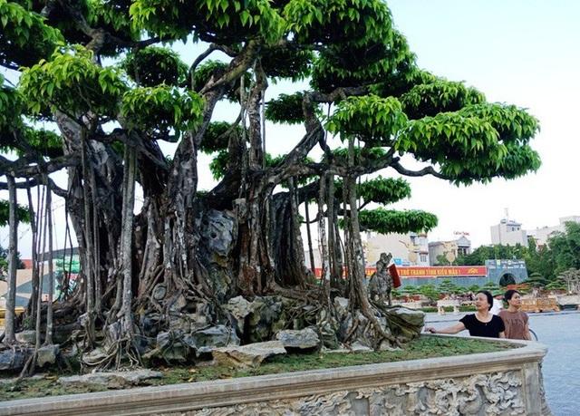 Choáng với cây sanh cổ được khách Nhật định giá hơn 20 triệu USD - 4