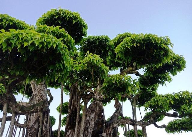 Choáng với cây sanh cổ được khách Nhật định giá hơn 20 triệu USD - 5
