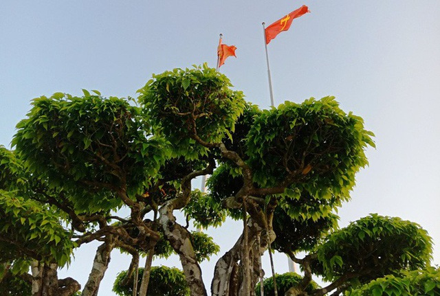 Choáng với cây sanh cổ được khách Nhật định giá hơn 20 triệu USD - 6