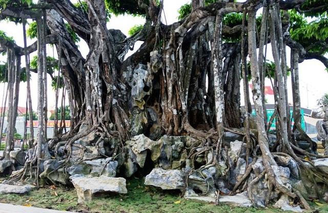 Choáng với cây sanh cổ được khách Nhật định giá hơn 20 triệu USD - 8