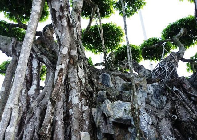 Choáng với cây sanh cổ được khách Nhật định giá hơn 20 triệu USD - 9