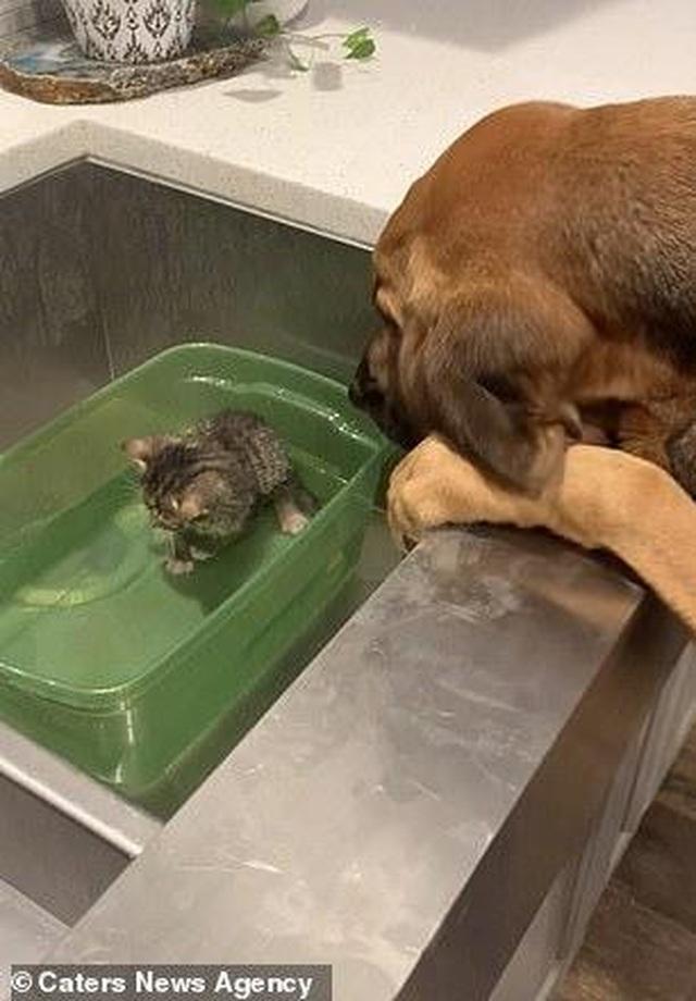 Dễ thương hình ảnh chó săn âu yếm xoa đầu chú mèo 4 tuần tuổi - 1