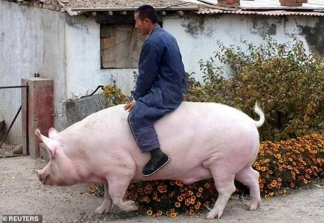 Nghỉ việc về quê nuôi 22 con lợn, nay thành đại gia khiến cả nước bất ngờ - 12