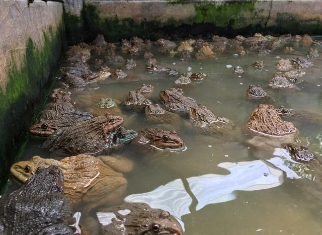 Khánh Hòa: Nuôi ếch ộp ở chuồng heo cũ kiếm gần 20 triệu đồng/tháng - 1