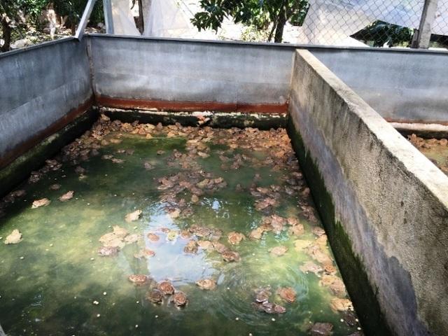 Khánh Hòa: Nuôi ếch ộp ở chuồng heo cũ kiếm gần 20 triệu đồng/tháng - 4