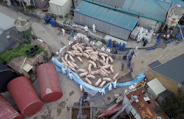 Triều Tiên đang cố tình che dấu thảm họa dịch cúm lợn? - 1