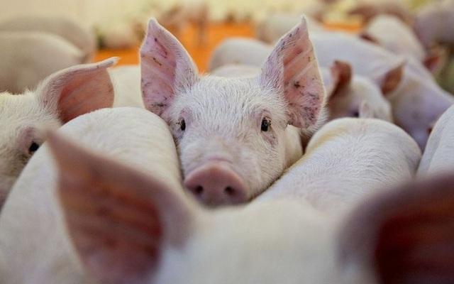 """Cùng với Trung Quốc, giá thịt lợn ở Việt Nam sẽ còn """"sốt"""" đến hết năm - 1"""