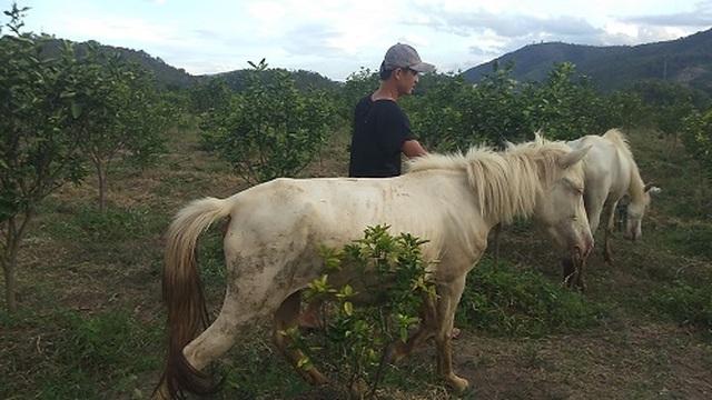 Gia Lai: Đàn ngựa mắt đỏ hàng tỷ đồng trên ốc đảo của trai 8X - 1