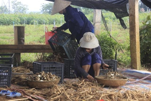 Quảng Trị:  Trồng sâm Bố Chính trên đất đỏ bazan, thu lãi hơn nửa tỷ đồng - 2